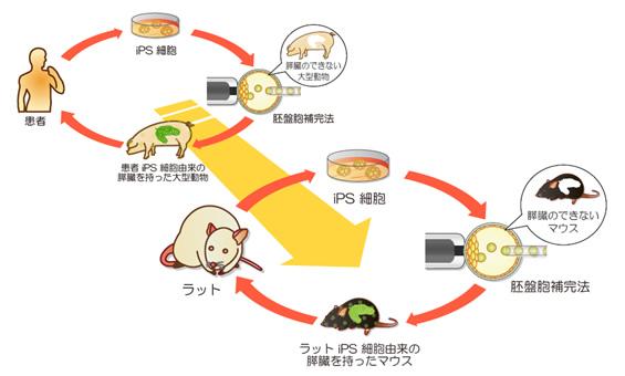 iPS細胞由来の膵臓をつくる過程