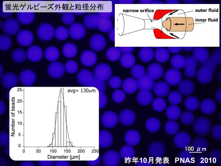 蛍光ゲルビーズ外観と粒径分布